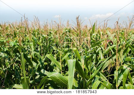Agriculture. Corn Field. Corn fields during the rainy season