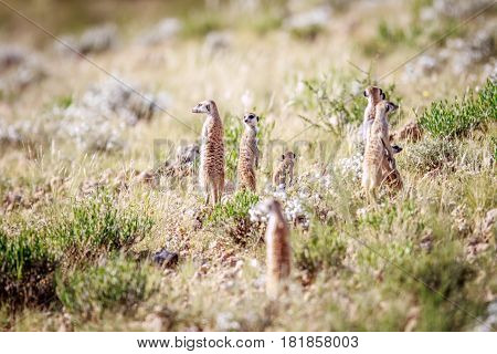 Meerkats Standing Up To Observe.