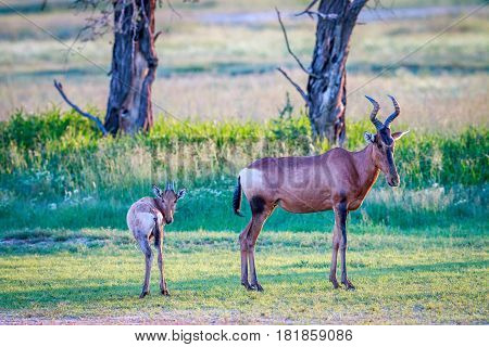 Red Hartebeest With A Baby.