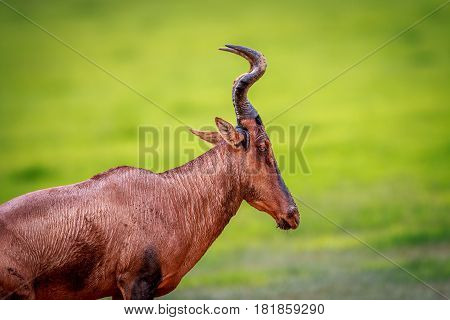 Side Profile Of A Red Hartebeest.