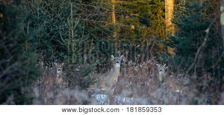 Family of three alert White-tailed Deer (odocoileus virginianus) in a Wisconsin forest