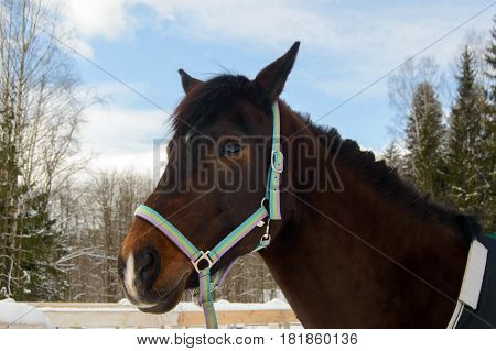 Bay horse head on a walk in the winter. Sport horses are graceful and beautiful. Care and care for the animals.