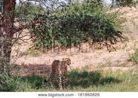 Cheetah Standing Under A Tree.