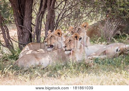 Group Of Lions Looking Left.