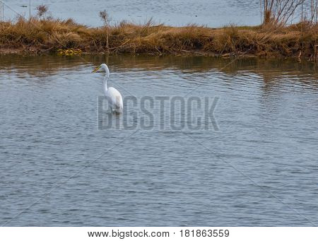 A Great Egret stands alone in the waters of a Salt Marsh