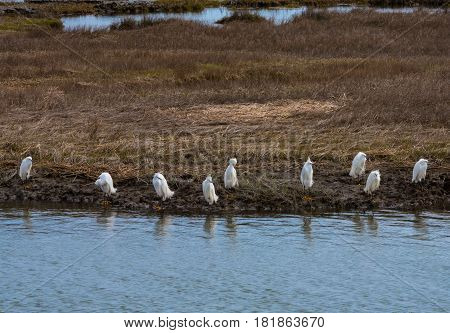 A line of Snowy Egrets stands at the water's edge in a Salt Marsh