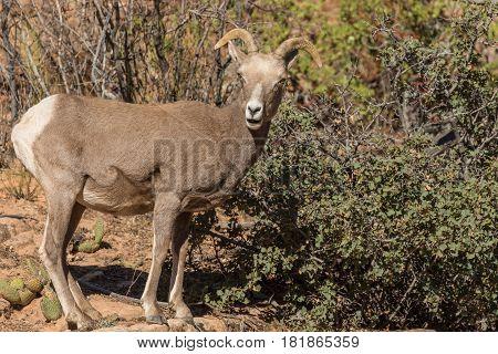 a desert bighorn sheep ewe with a cute expression in Utah