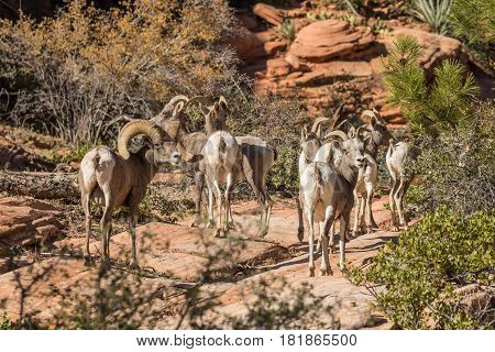 desert bighorn sheep in rut in Zion National Park Utah