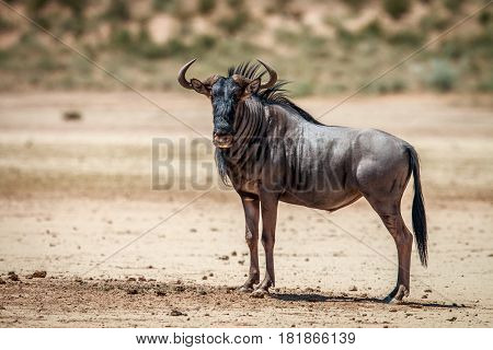 Blue Wildebeest Standing In The Sand.
