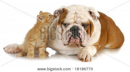 kat en hond - leuk katje fluisteren in het Engels bulldogs oor op witte achtergrond