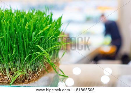 Fresh Wheat Grass
