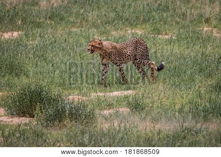 Cheetah Walking In The Grass.