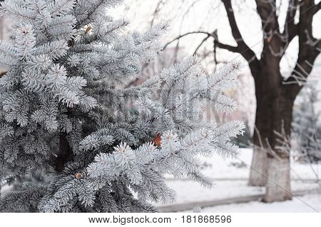 Blue spruce green spruce white spruce Colorado spruce or Colorado blue spruce with hoarfrost. Christmas tree with hoarfrost.