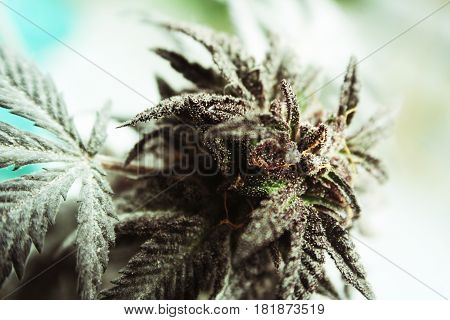 Marijuana Bud Close Up Stock Photo High Quality