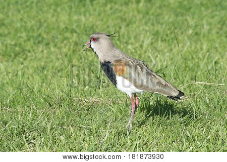 Southern lapwing perched on the grass field