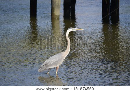 Great Blue Heron (Ardea Herodias) wading and hunting for food in shallow water