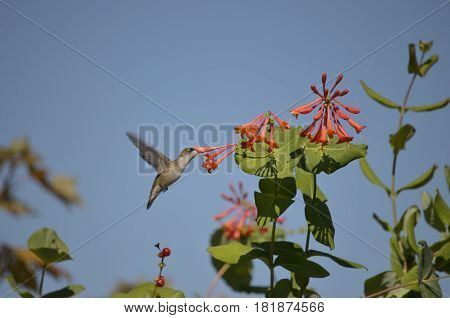 Adorable little Hummingbird and Honeysuckle flowers on a sunny summer day