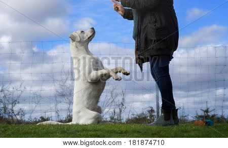 Woman and and sweet white labrador retriever dog puppy during training on a field