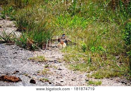 killdeer (Charadrius vociferus), dancing and acting as if they are injured to protect the nest from intruders