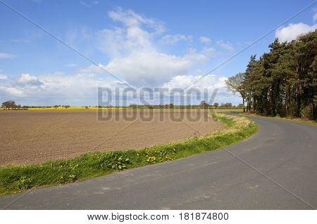 Pine Trees And Rural Road