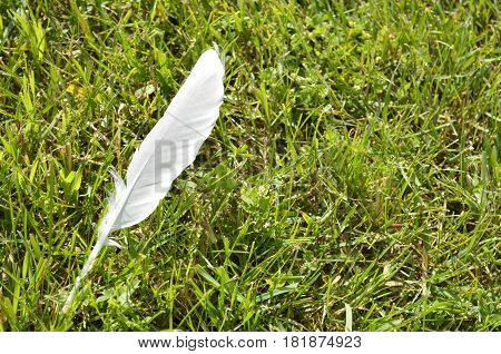 Single lone white feather in the grass