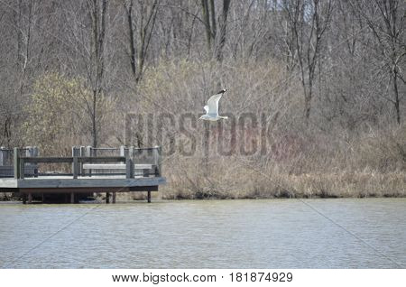 Seagull in flight over a pond on a winter day
