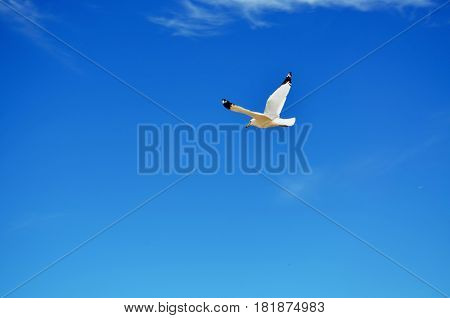 Seagull soaring against a bright and sunny clear blue summer sky