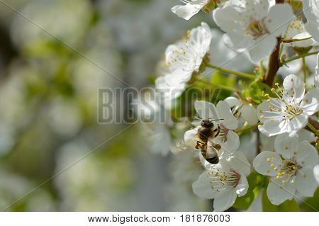 Bee and cherry tree flowers. Spring. Diligence work