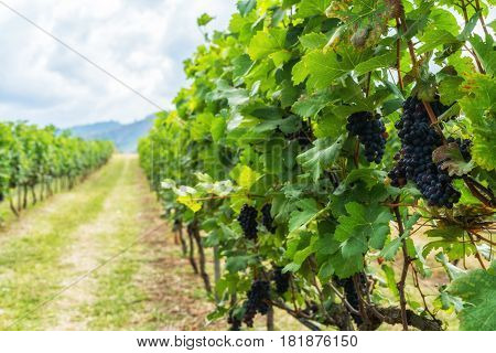 Bunch Of Ripe Grapes In The Vineyards