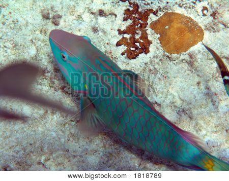Beautiful Parrot Fish