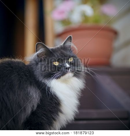 Portrait of a fluffy cat of a smoky color with yellow eyes.