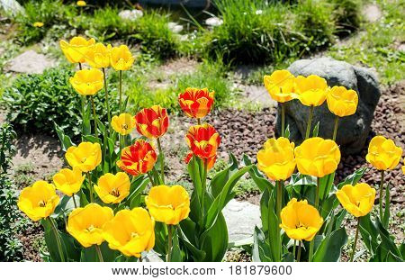 Yellow and red tulips in the flowerbed. Close-up.