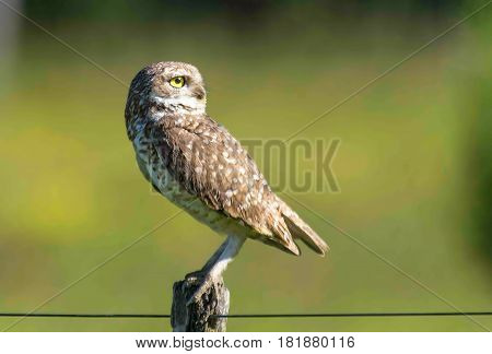 Burrowing owl  perched on a cable staring fixedly
