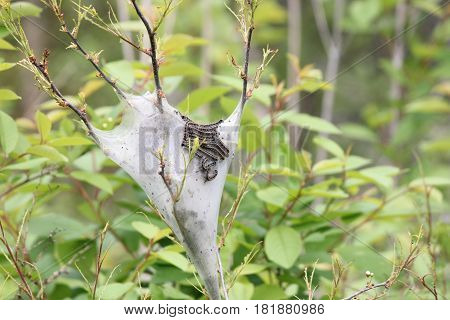 The Eastern Tent Caterpillar (Malacosoma americanum) is a species of moth in the family, moths are rarely seen. Most caterpillars outside of silky tent