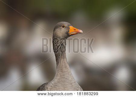Greylag goose, Anser anser portrait close up
