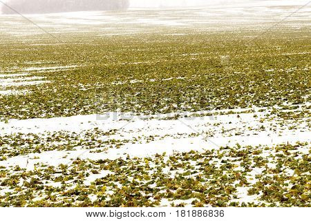 Field of winter rape which is well wintered under snow