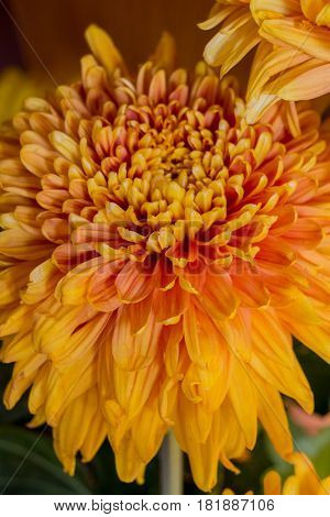 Yellow Aster Flowers