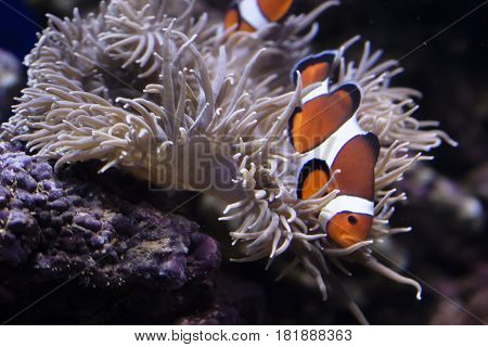 Clown fish close-up among aquarium plants and algae