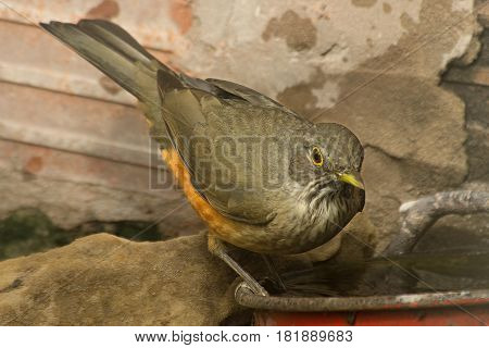 Rufous bellied thrush drinking water on a pot