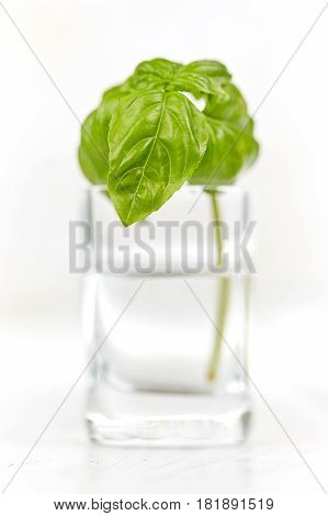 Isolated Basil In Glas Of Water On White Wooden Table