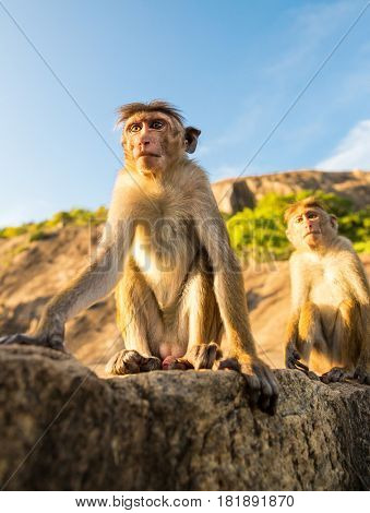 Monkeys on Sri Lanka, food thieves on Ceylon