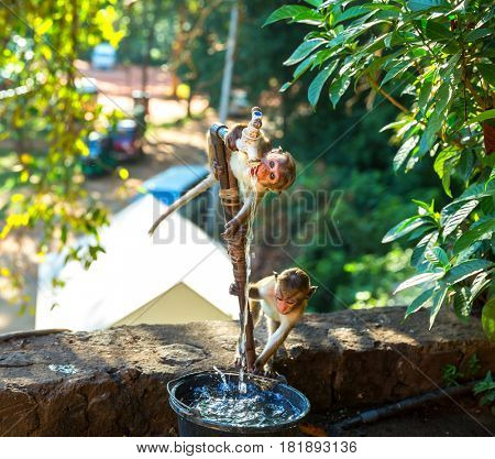 Monkeys drink water from the fountain on Ceylon