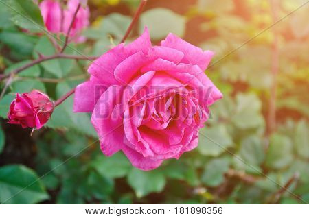 Rose flower closeup. Shallow depth of field. Spring flower of pink rose. Closeup of pink rose spring flower. Spring flower background
