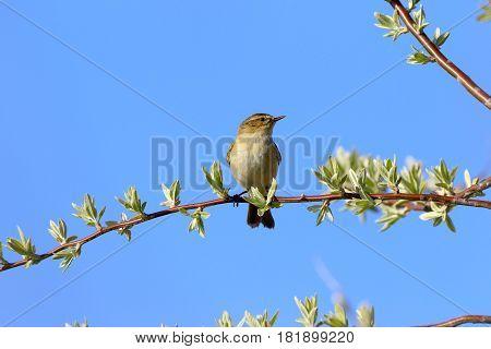 COMMON CHIFFCHAFF (PHYLLOSCOPUS COLLYBITA) BIRD. Seen in Dobrogea