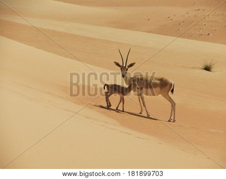 An Arabian gazelle with her baby in the Empty Quarter Desert