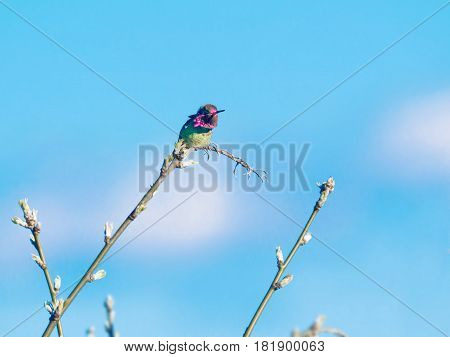 Anna hummingbird perched on the branch in the spring