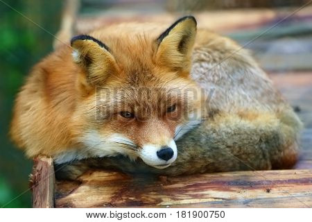 Beautiful red Fox in rural zoo. Rests on a wooden platform. Cunning black eyes black whiskers and nose white cheeks.