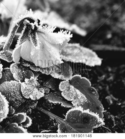 Winter solitude. It's a small flower that prevails amidst frost, fog and cold weather.