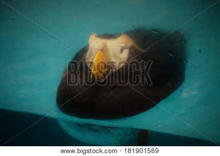 A puffin bird swimming in the water