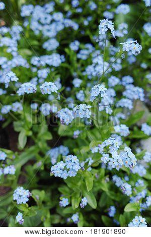 Forget me not - spring blue garden flowers symbol of spring